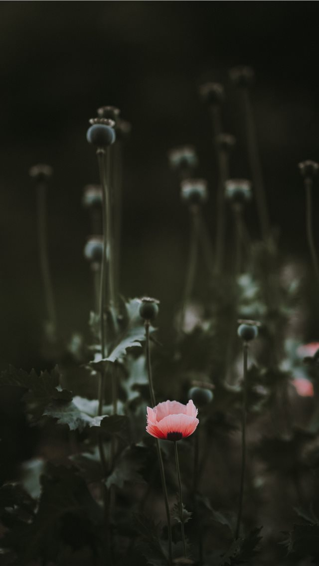 Pink Poppy with blank space iPhone wallpaper