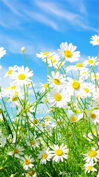 Daisies Flowers iPhone 5s wallpaper