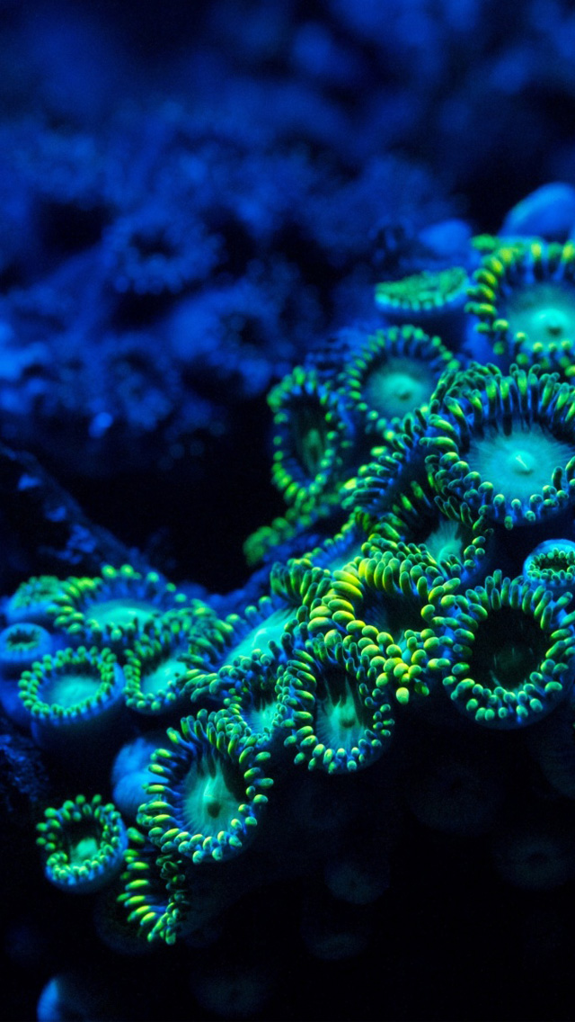 Zoanthids Coral iPhone wallpaper