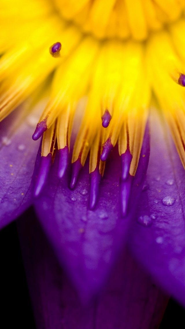 Purple And Yellow Petals Iphone Wallpapers Free Download