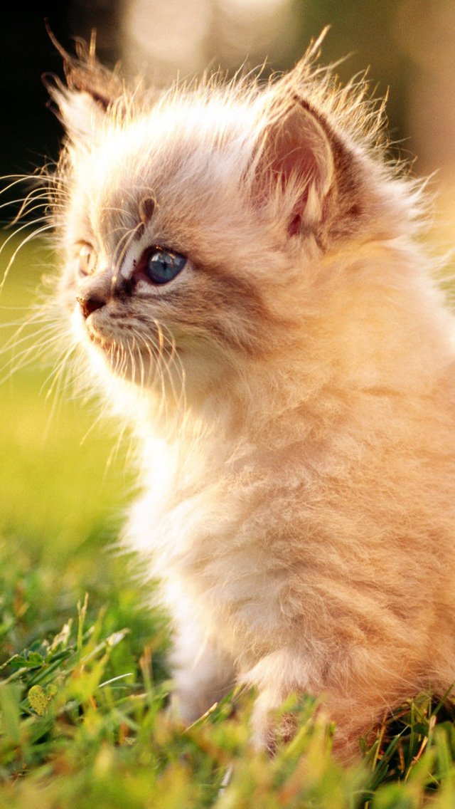 White Persian Kitten Outdoors Iphone Wallpapers Free Download