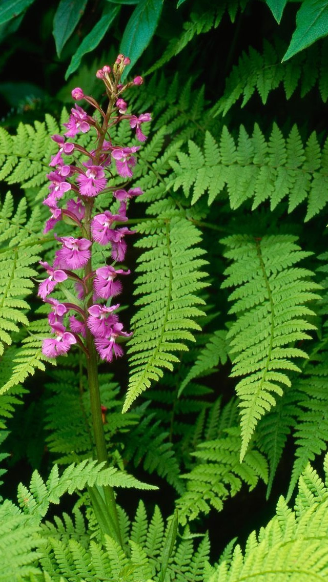 Fern And Flower Iphone Wallpapers Free Download