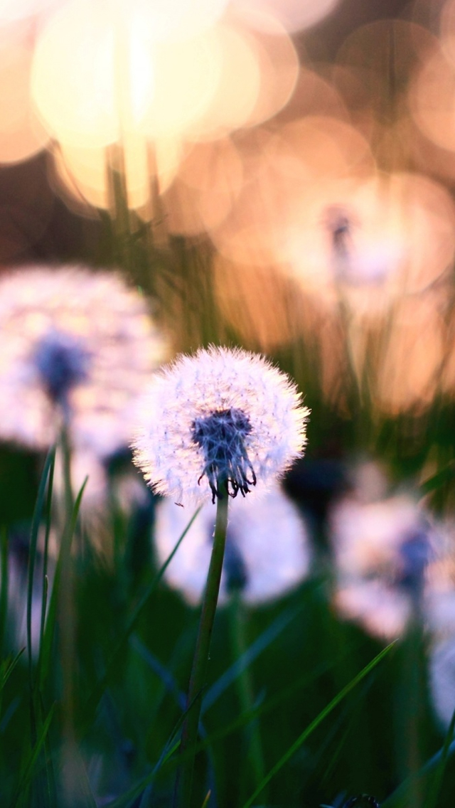Dandelions Macro iPhone wallpaper