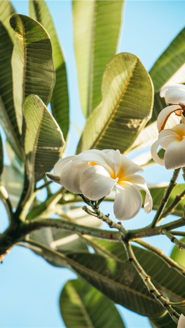 The smell of Hawaii iPhone wallpaper