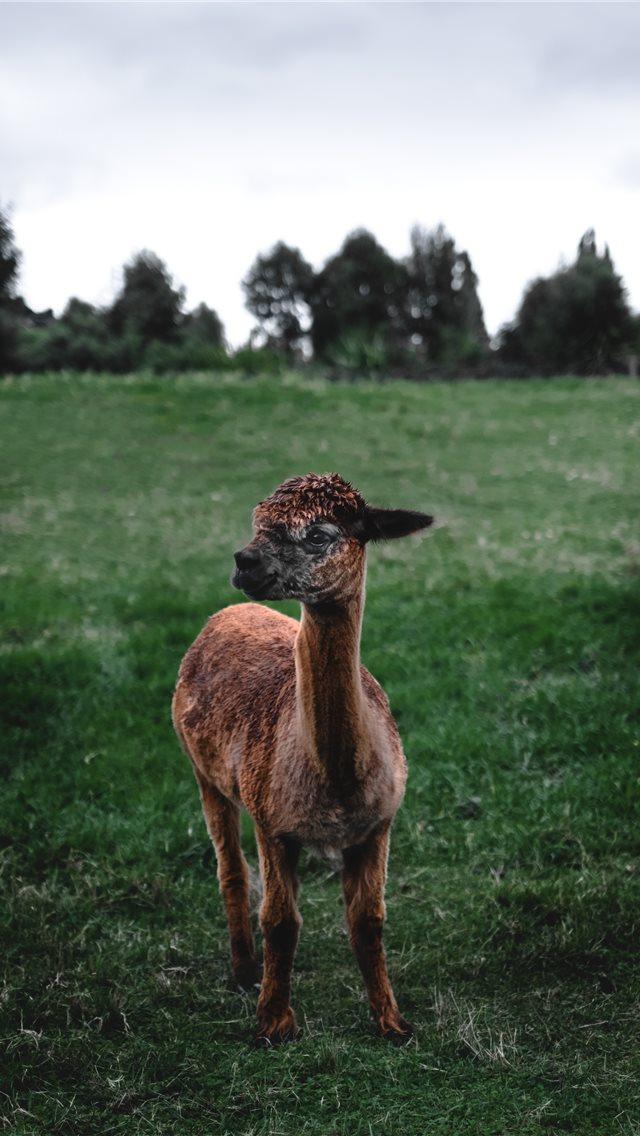 Llama Iphone Wallpapers Free Download