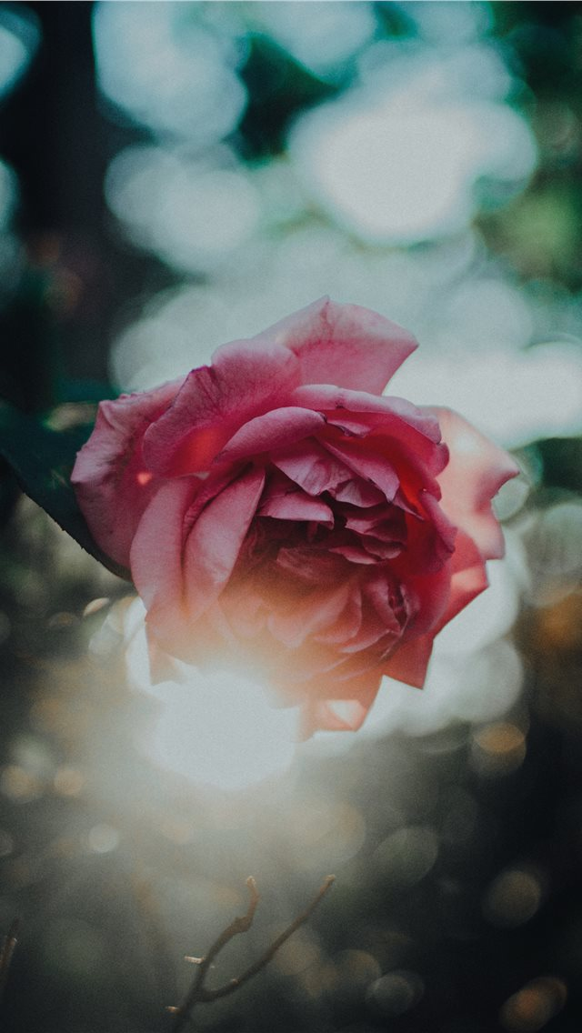 Rose and the sun iPhone wallpaper