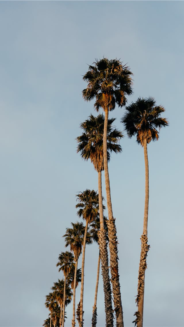 Palms From Santa Cruz Iphone Wallpapers Free Download