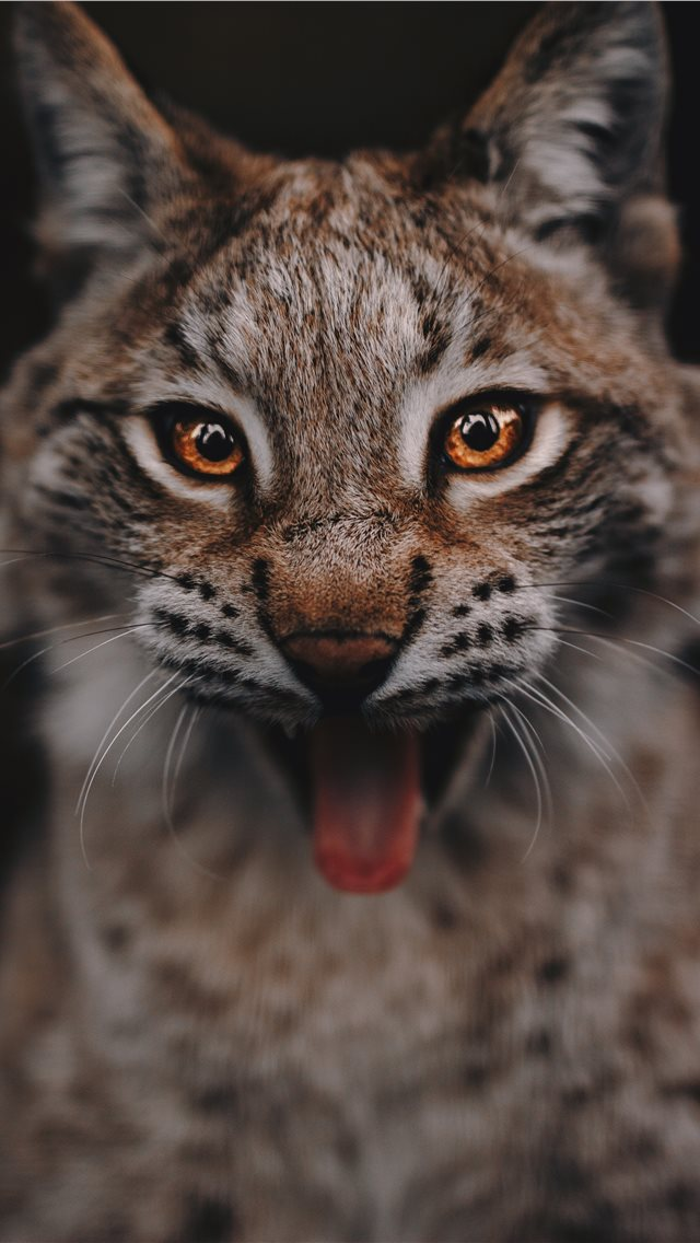 Lynx portrait iPhone wallpaper