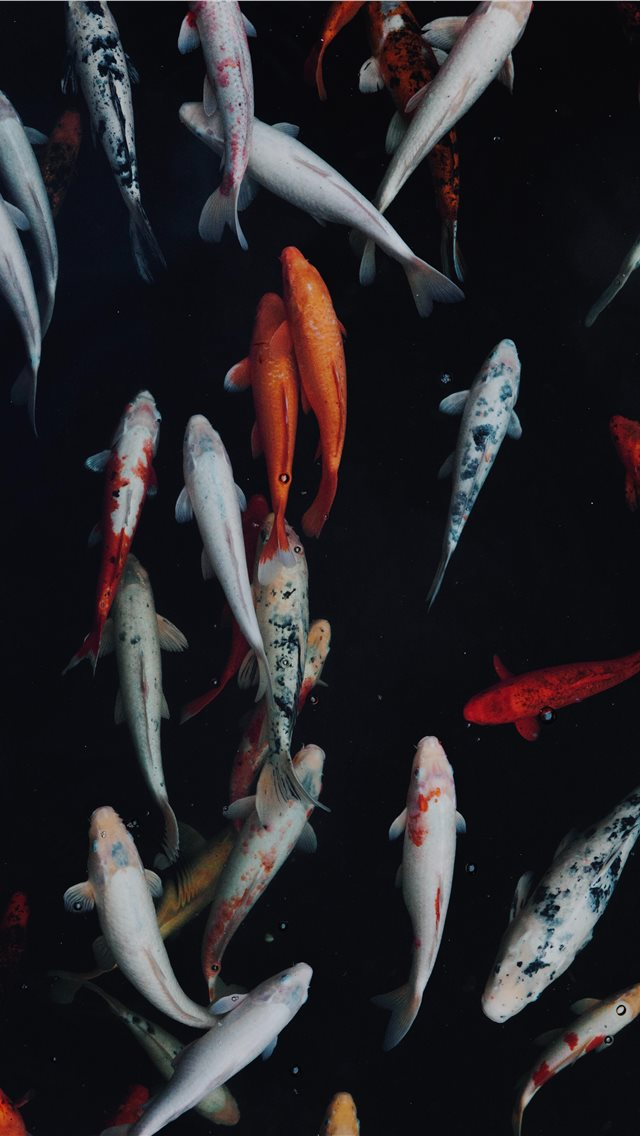 white and orange koi fish iPhone wallpaper