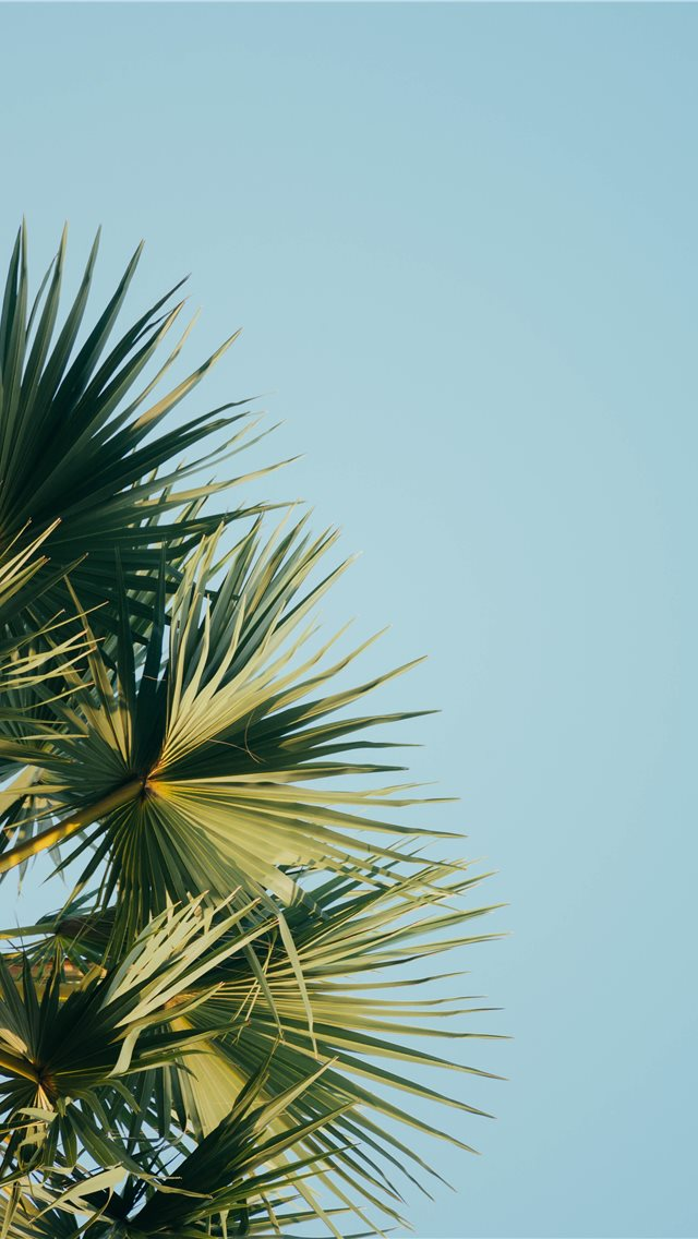 fan palm tree under blue sky iPhone wallpaper