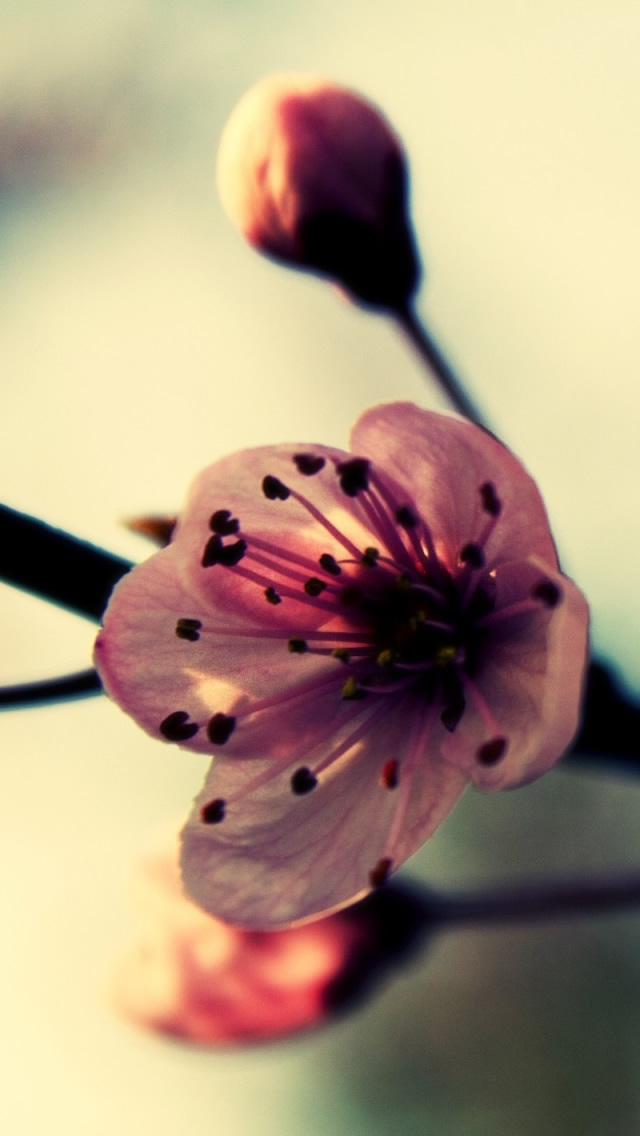Cherry Blossom In Spring iPhone wallpaper