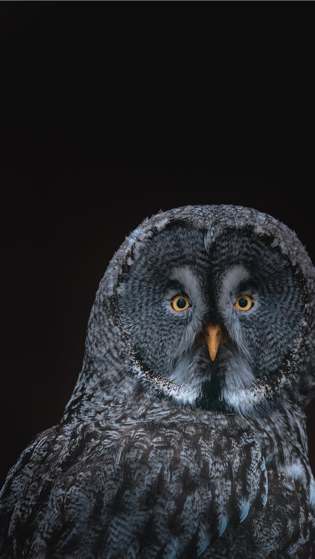 gray owl on black background iPhone wallpaper