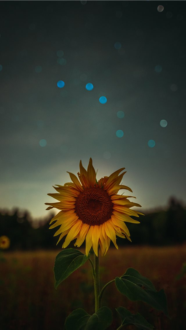 sunflower during golden hour iPhone wallpaper