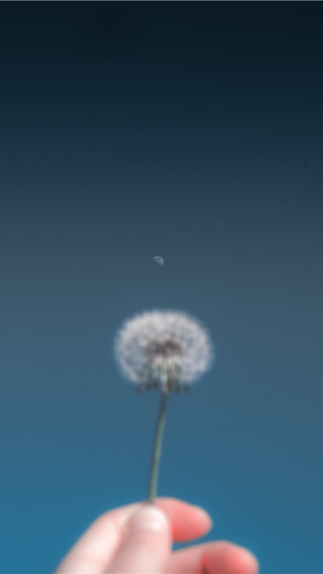 person holding dandelion flower iPhone wallpaper