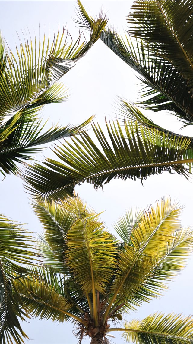 green coconut trees iPhone wallpaper