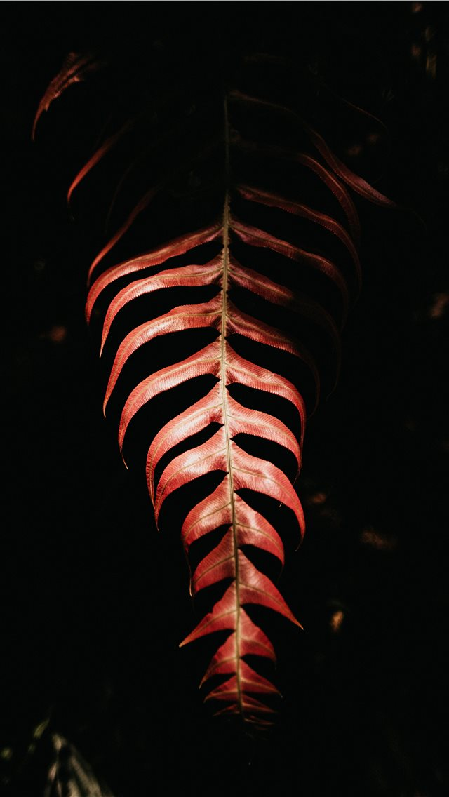 red leaf on black background iPhone wallpaper