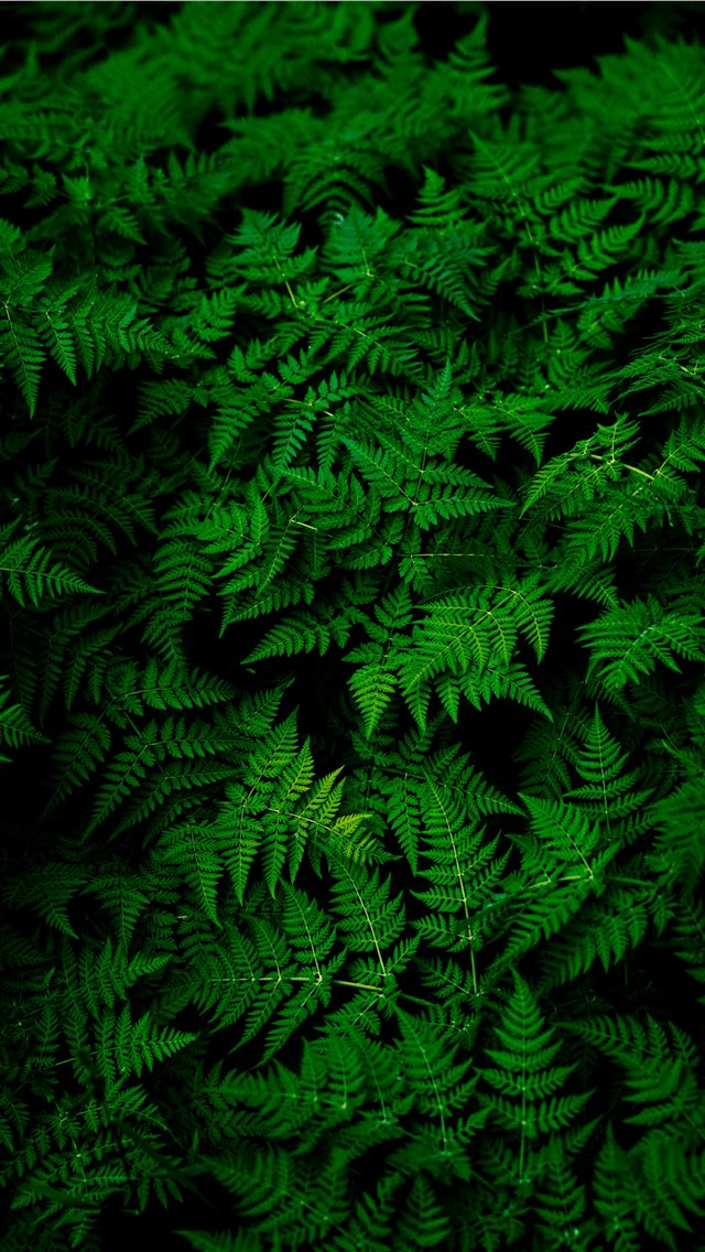 photo of green fern plant iPhone wallpaper