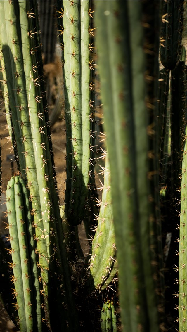 green cactus iPhone wallpaper