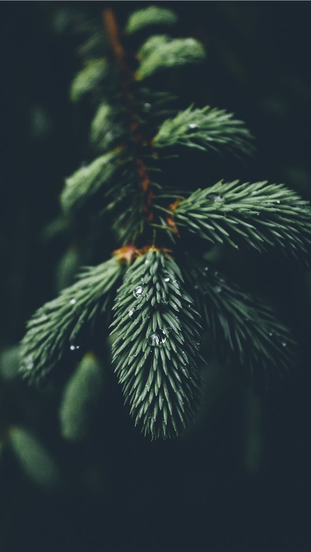 shallow focus photography of green spruce tree iPhone wallpaper