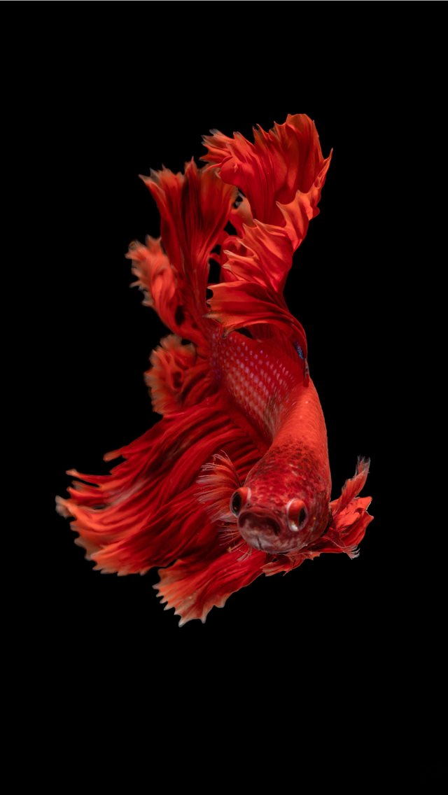 red Siamese fighting fish iPhone wallpaper