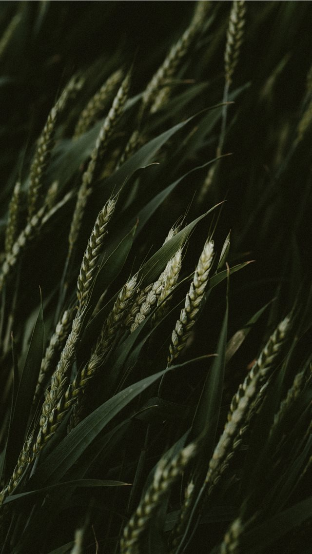 selective focus photo of green wheats iPhone wallpaper