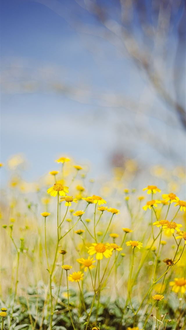 yellow flower field under blue sky during daytime iPhone wallpaper