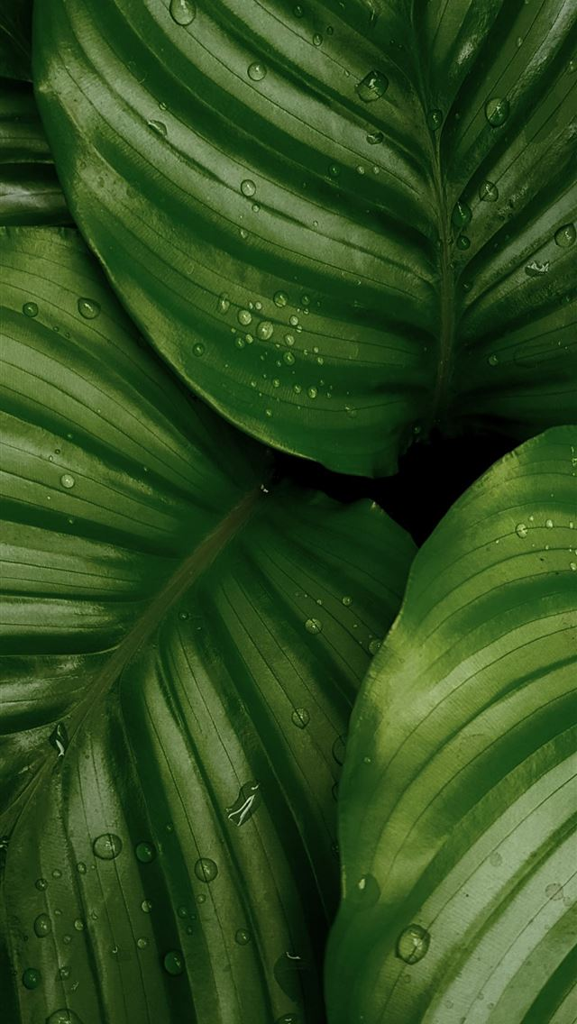 water droplets on green leaves iPhone wallpaper