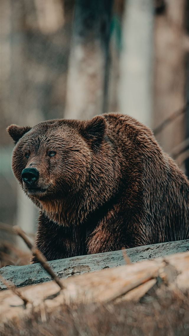 brown bear on brown wooden log during daytime iPhone wallpaper