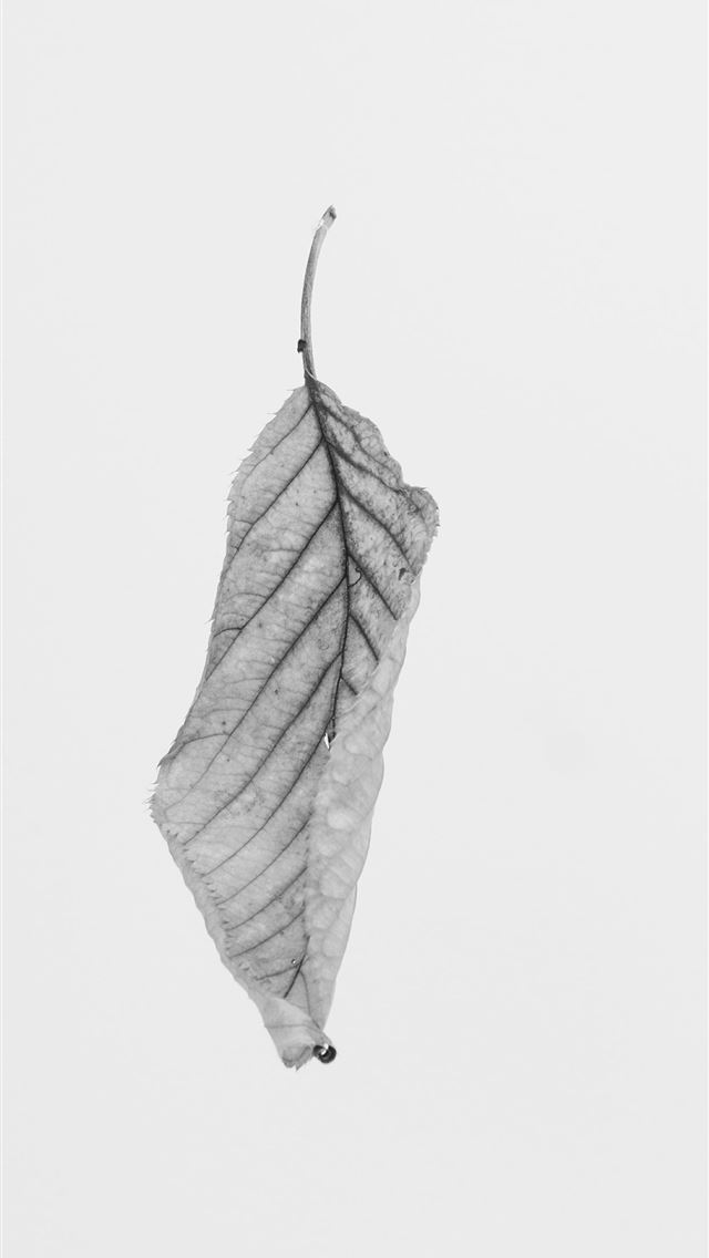 grayscale of leaf iPhone wallpaper