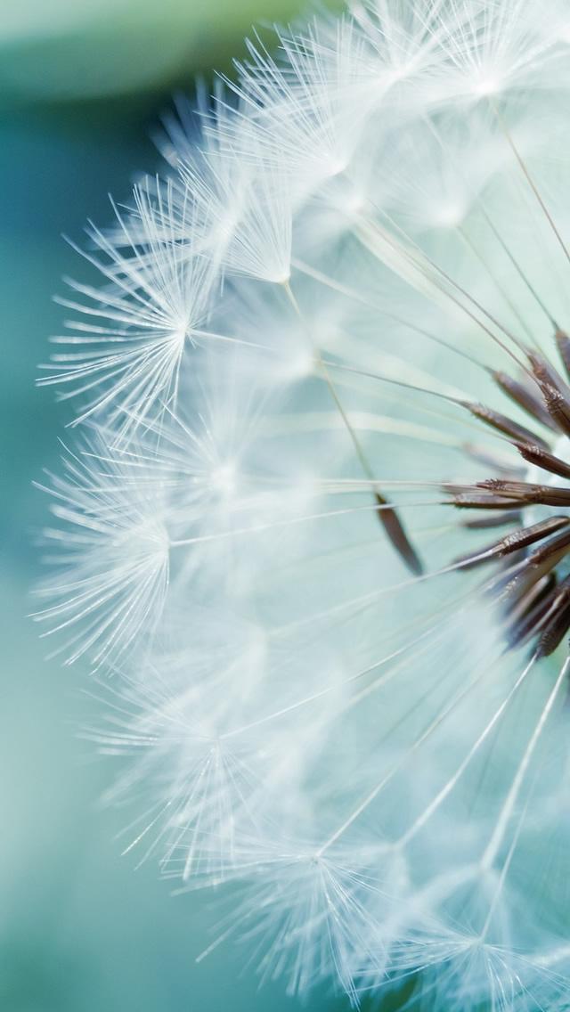 Dandelion Flower Iphone Wallpapers Free Download
