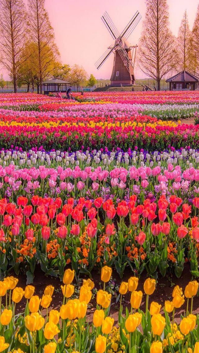 Tulip Fields of Netherlands iPhone wallpaper