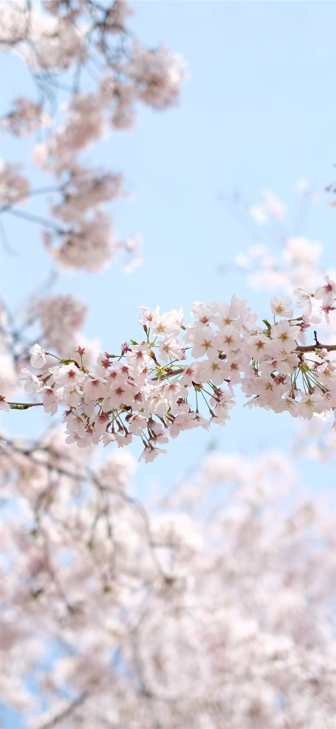 white cherry blossom under clear blue sky during d... iPhone X wallpaper