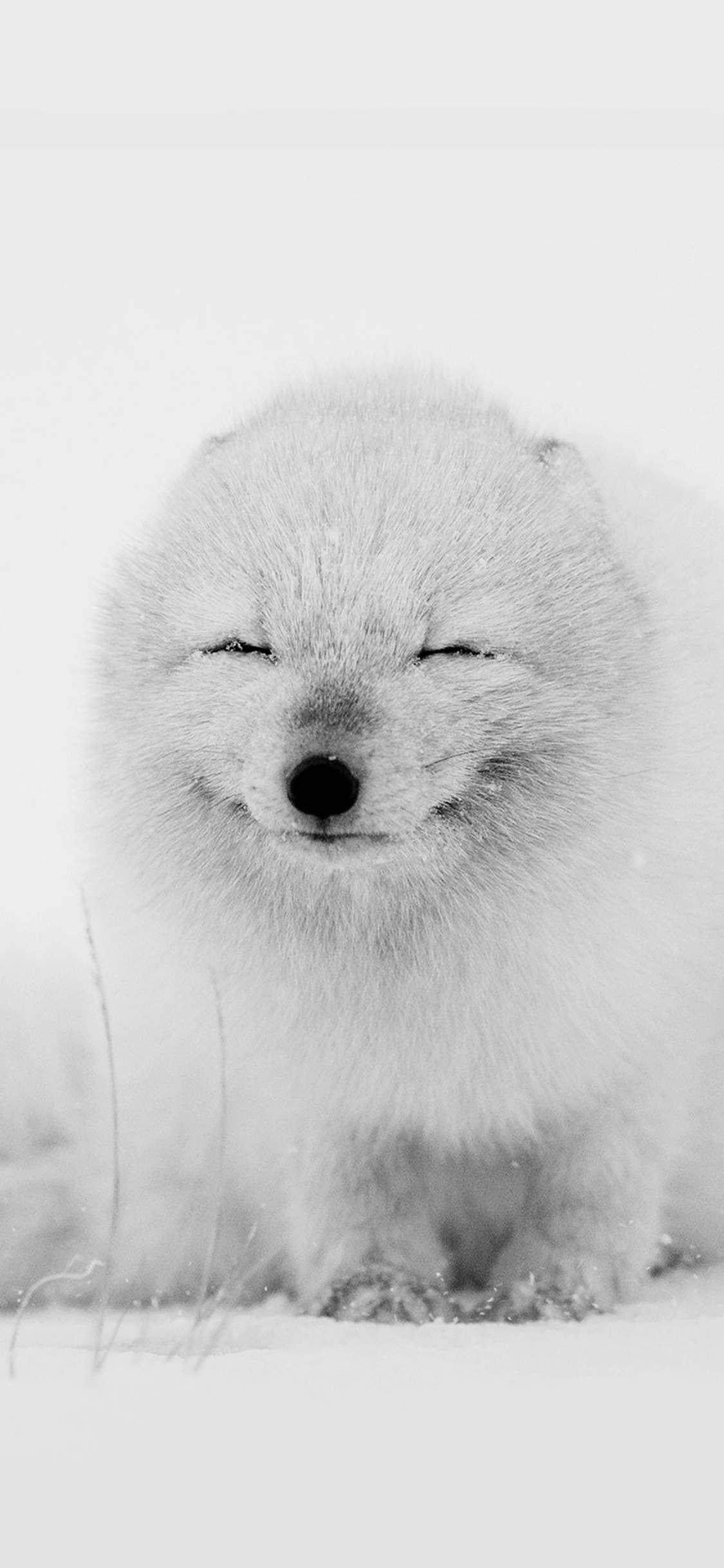 Arctic Fox Happy Moment Iphone X Wallpapers Free Download