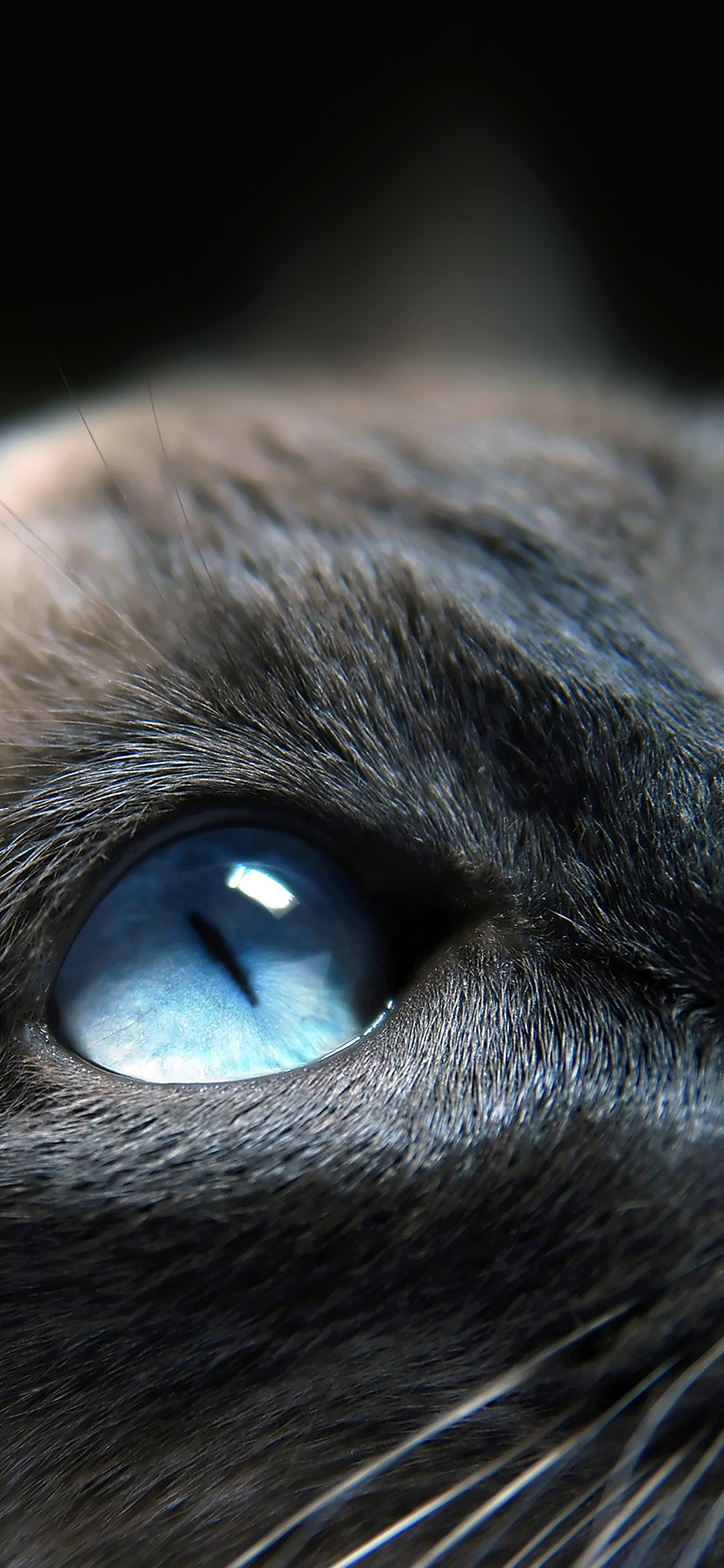Cats Blue Eye Cute Iphone X Wallpapers Free Download