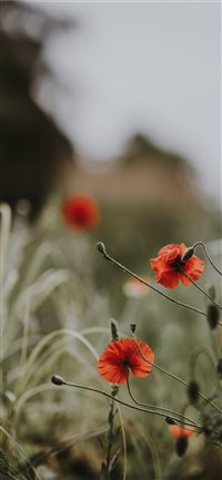 Red poppies  wildflowers iPhone X wallpaper