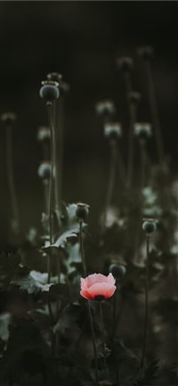 Pink Poppy with blank space iPhone X wallpaper