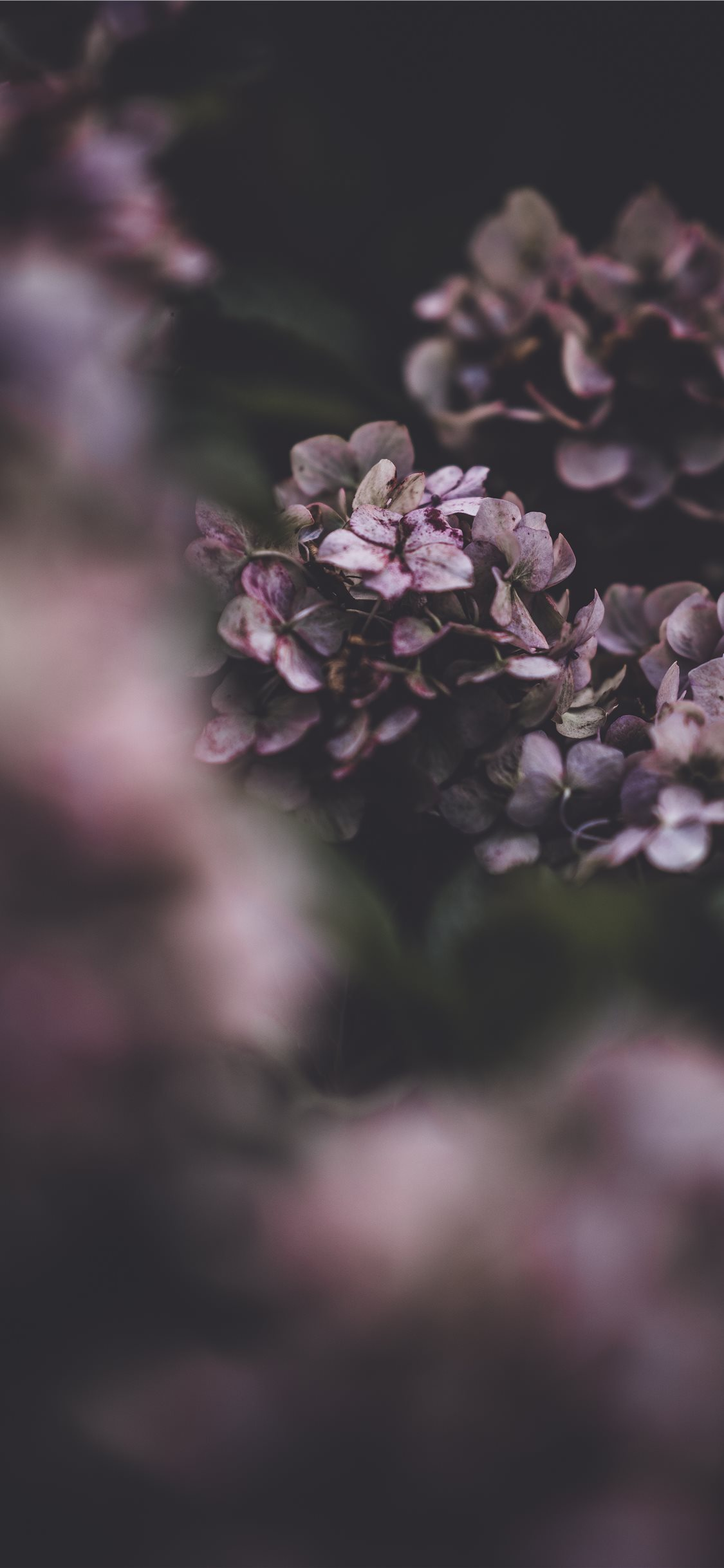 Delicate Hydrangea Flower Fragility In Nature Iphone X Wallpaper
