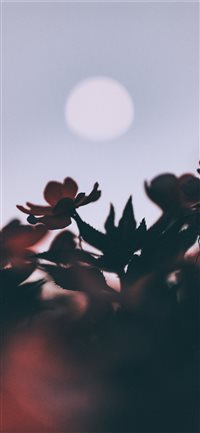 Oleander and moon iPhone X(S/Max/R) wallpaper