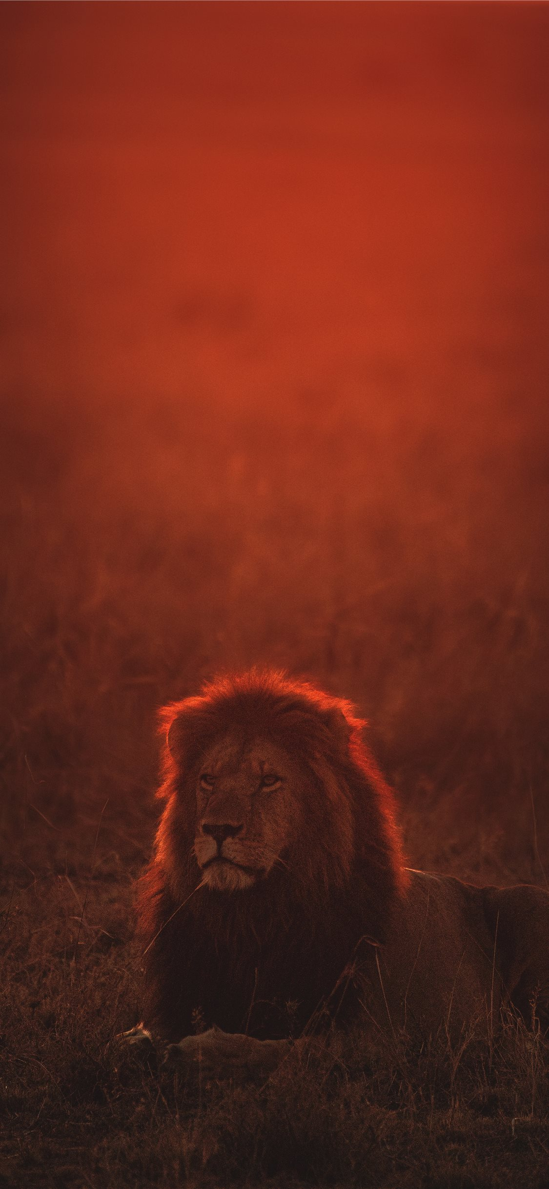 Lion On Green Grass During Golden Hour Iphone X Wallpapers