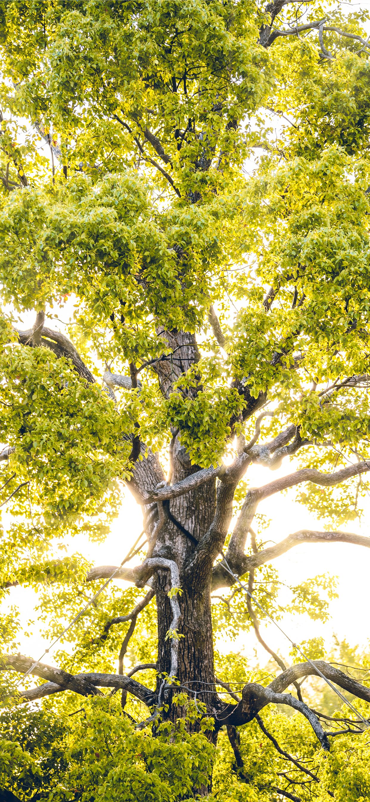 Sun Rays Through Green Leafed Tree Iphone X Wallpapers Free Download