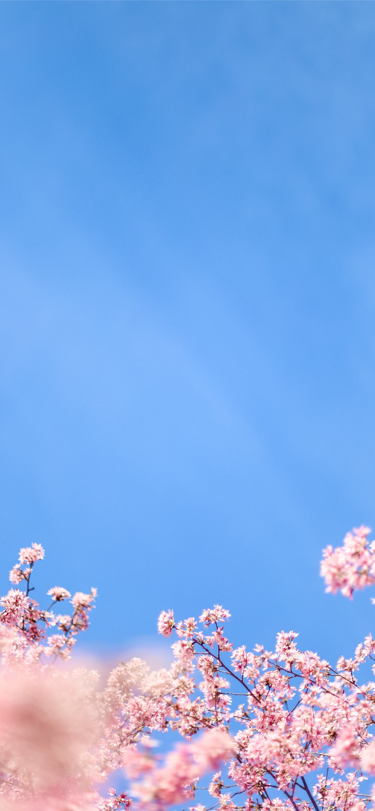 White Cherry Blossom Under Blue Sky During Daytime Iphone X Wallpapers Free Download