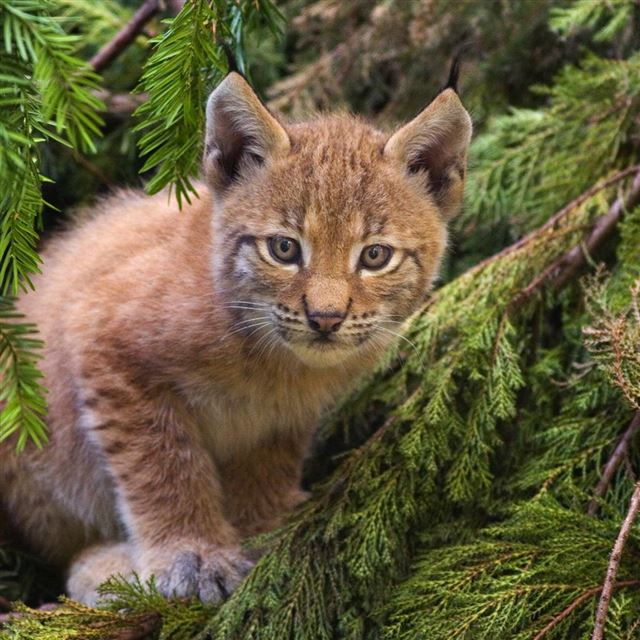 Baby Bobcat iPad wallpaper