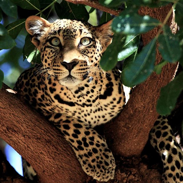 Wild Leopard iPad wallpaper