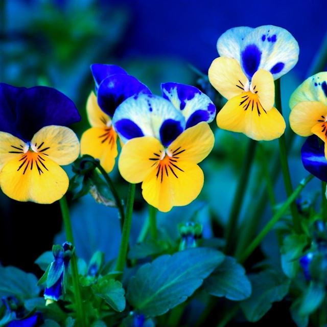 Pansy Flowers iPad wallpaper