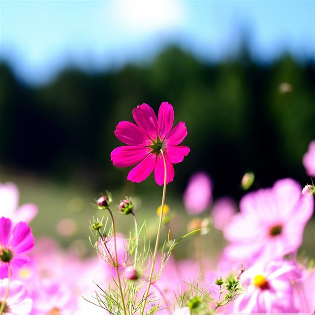 Pink Cosmos Flowers iPad wallpaper