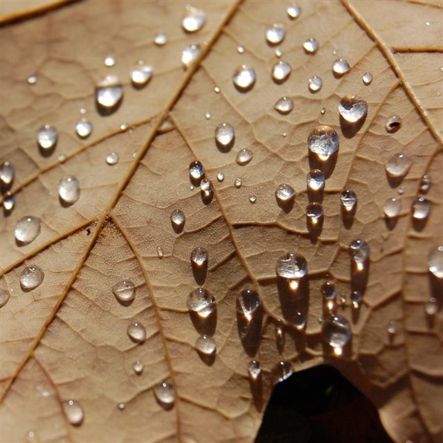 Water Drops On A Dried Maple Leaf iPad wallpaper