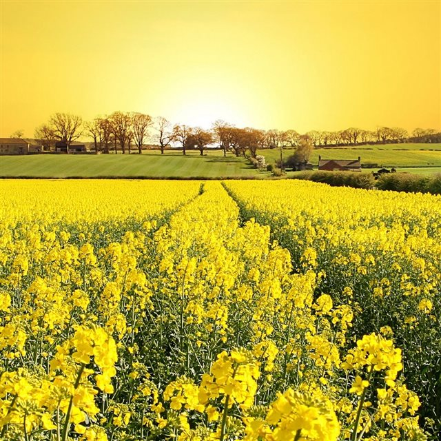Summer Canola Flower Filed Natural Landscape iPad wallpaper