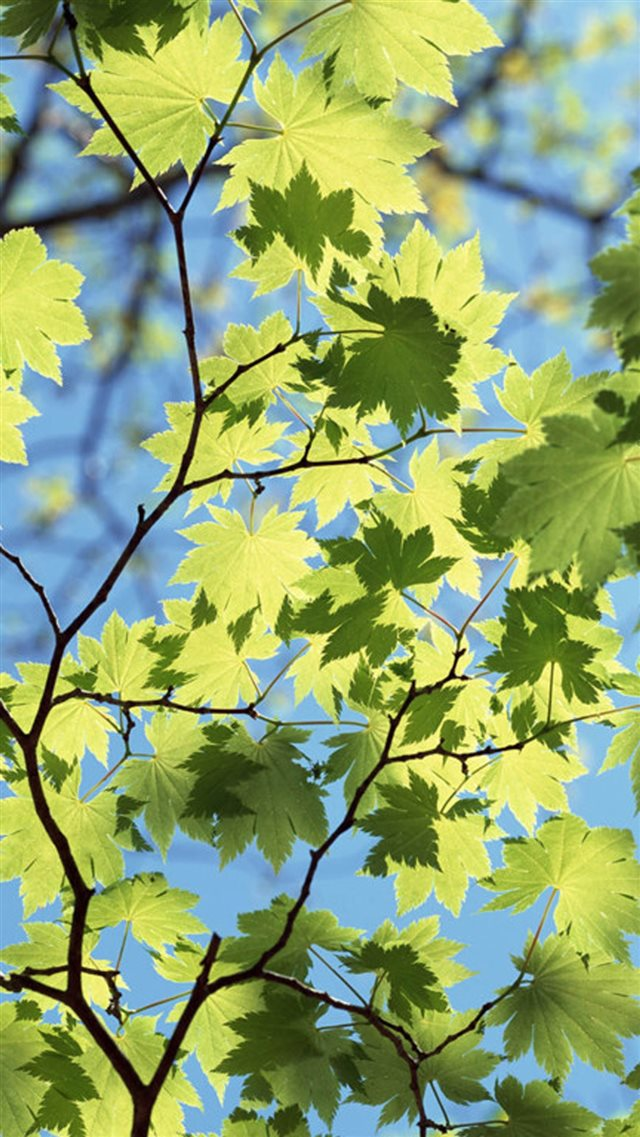 Maple Leaves Under Sunlight iPhone 8 wallpaper