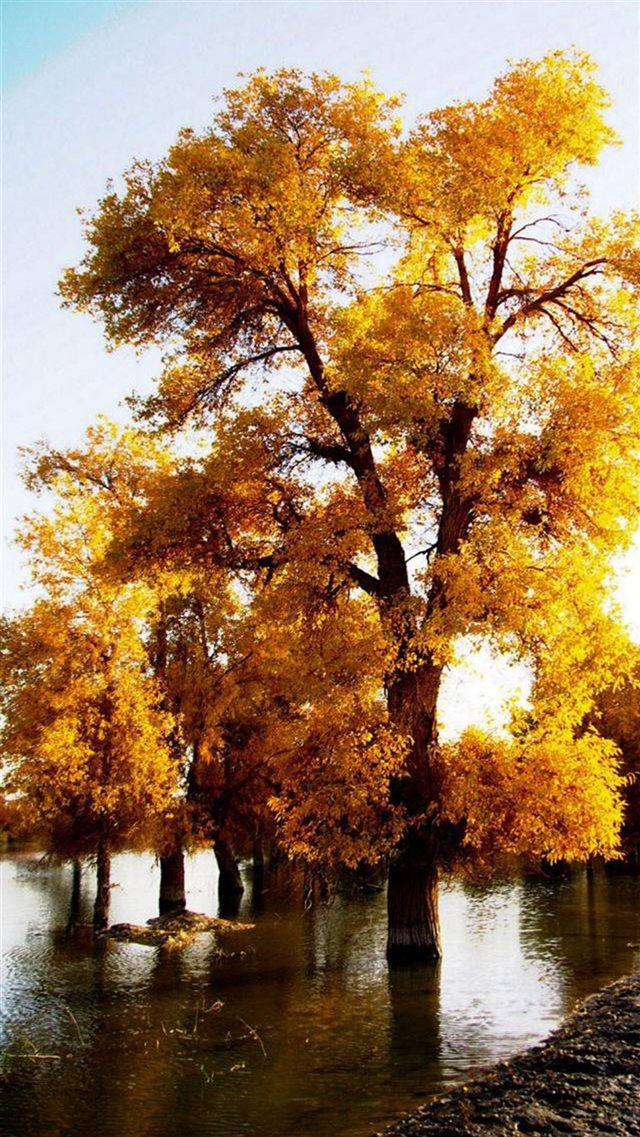 Nature Fall Golden Trees iPhone 8 wallpaper