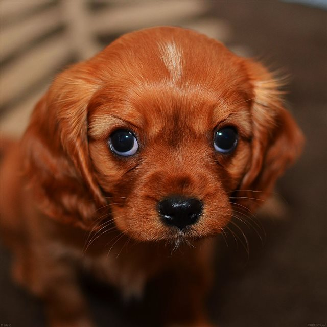 Cute Puppy Dog IPad Wallpapers Free Download